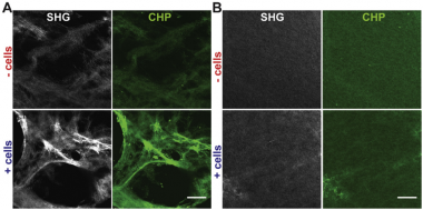 Acoustic modification of collagen hydrogels facilitates cellular remodeling