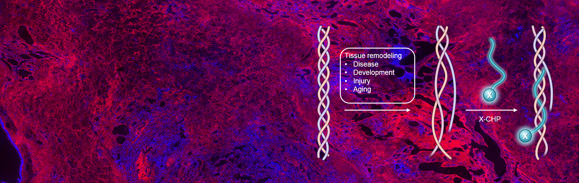 Collagen Hybridizing Peptides (CHPs)
